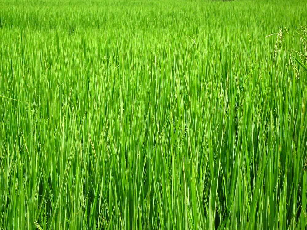 Green_field_texture