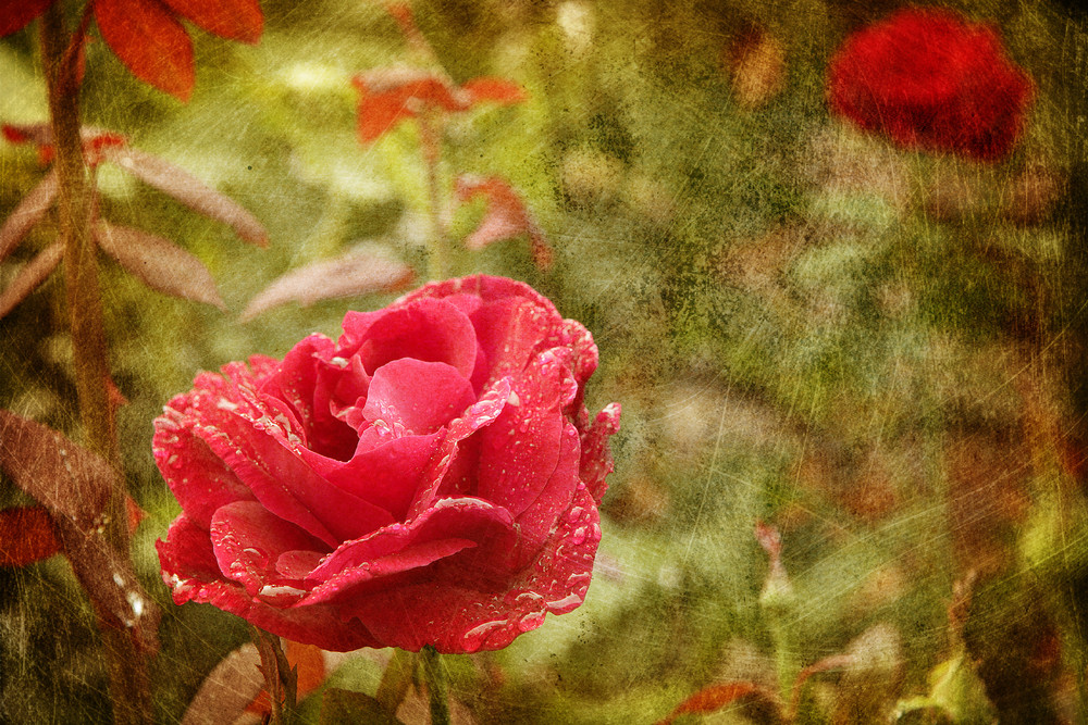 Grunge Style Red Rose With Water Droplets