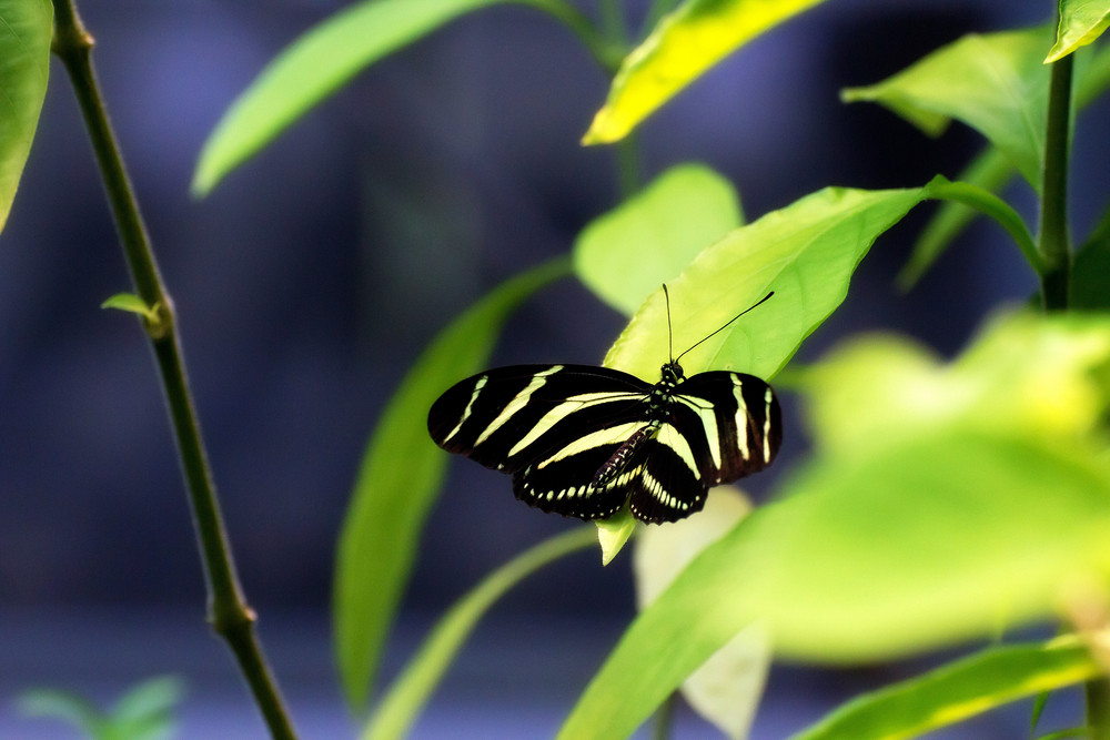 Heliconius Charithonia Butterfly
