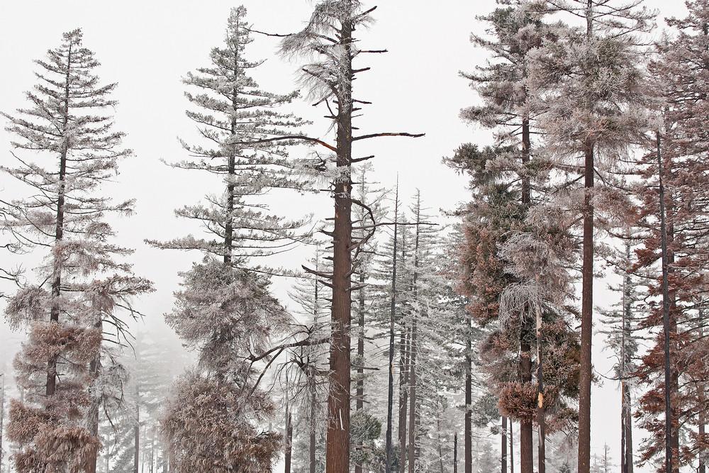 Hoard Frost Trees