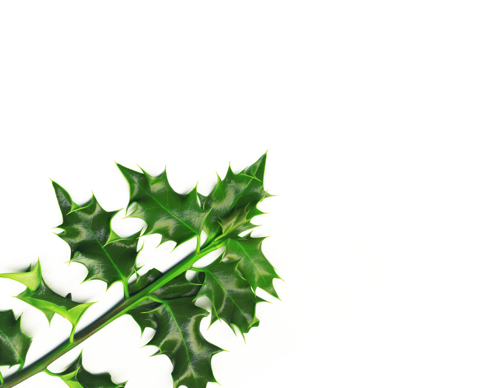 Holly Branch. High Quality Picture