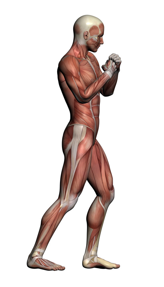 Human Anatomy   Male Muscle