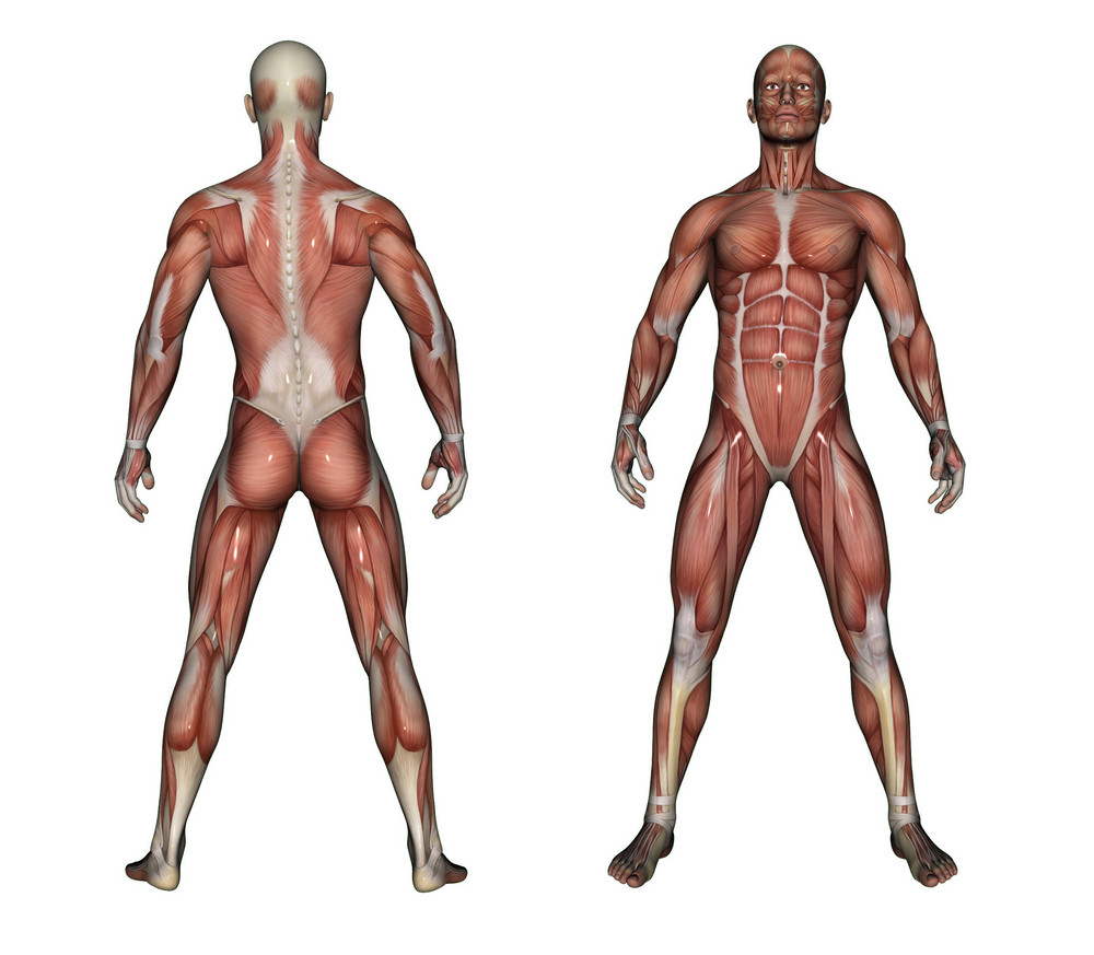 Human Anatomy Male Muscles Royalty-Free Stock Image - Storyblocks