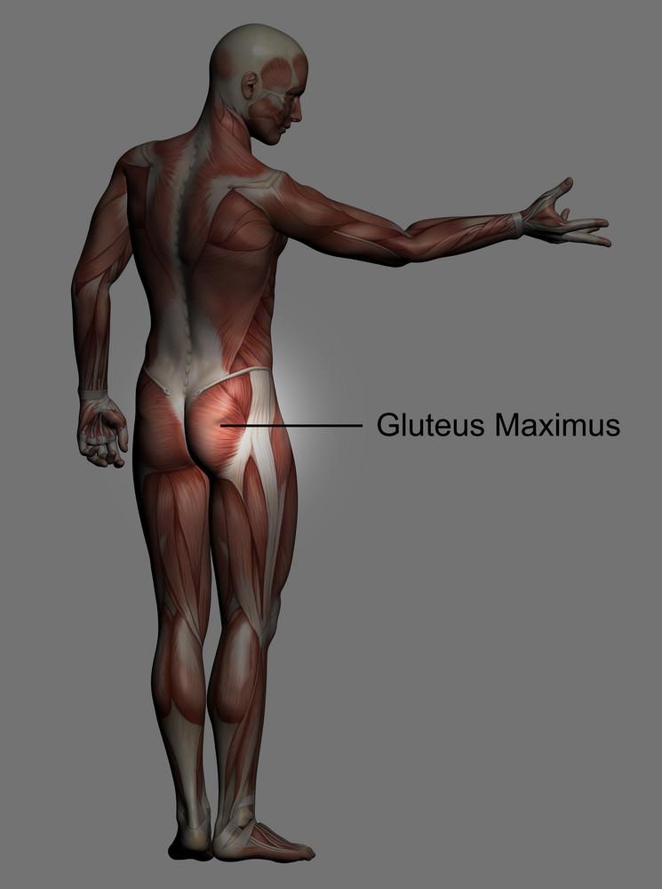 Human Anatomy   Male Muscles