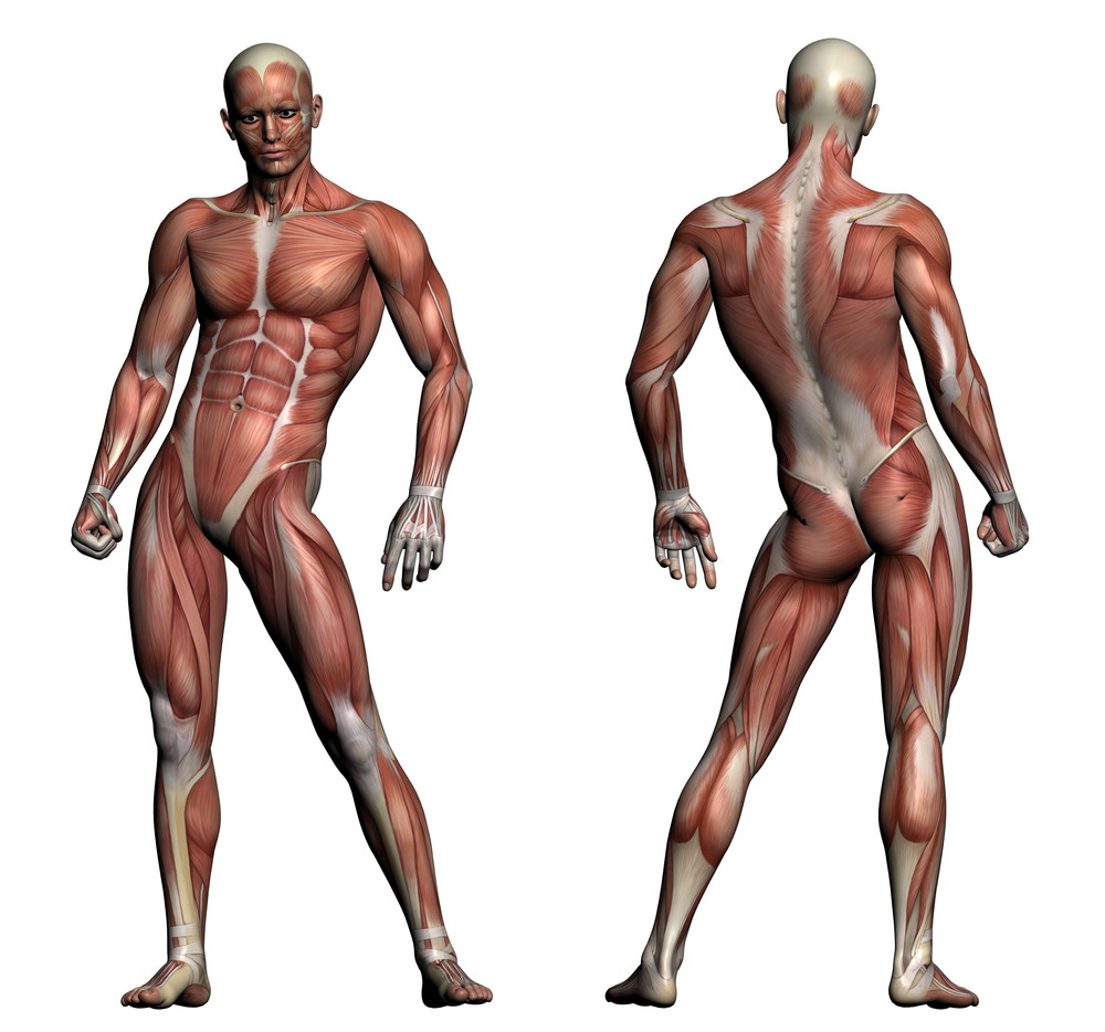 Human Anatomy Male Muscles Royalty Free Stock Image Storyblocks Images