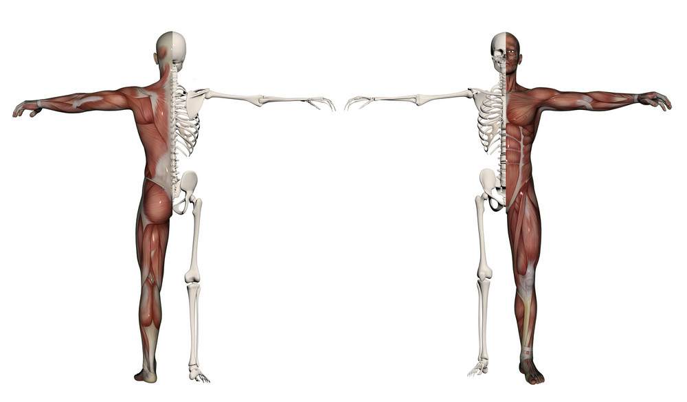 Human Body Of A Man With Muscles And Skeleton Royalty Free Stock