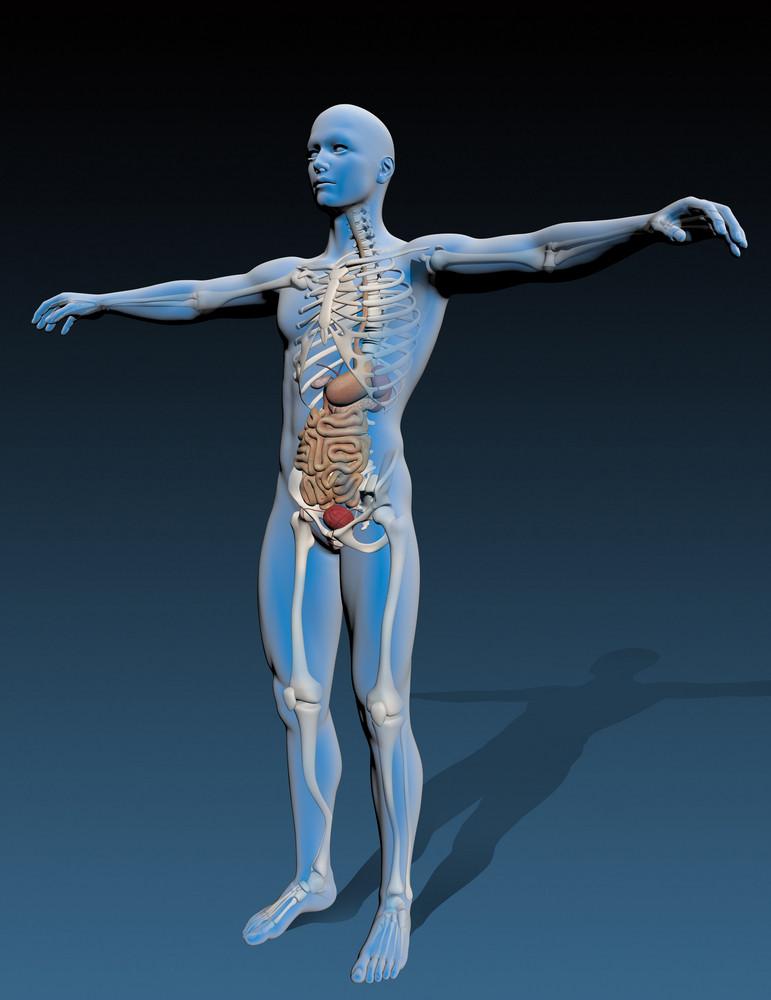 Human Body With Internal Organs