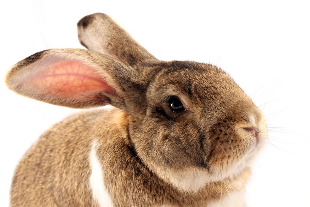 Isolated Rabbit Portrait