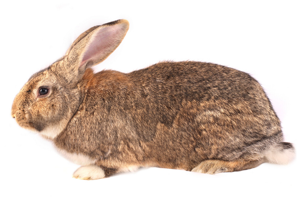 Isolated Rabbit - Side Portrait