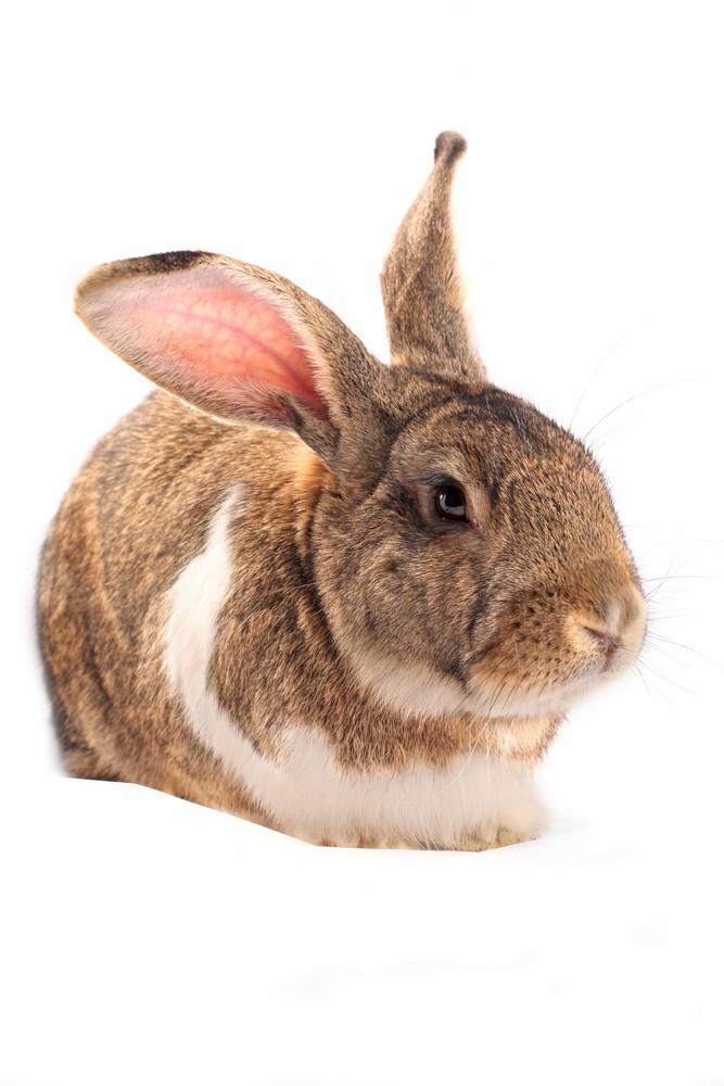 Isolated Rabbit Staring