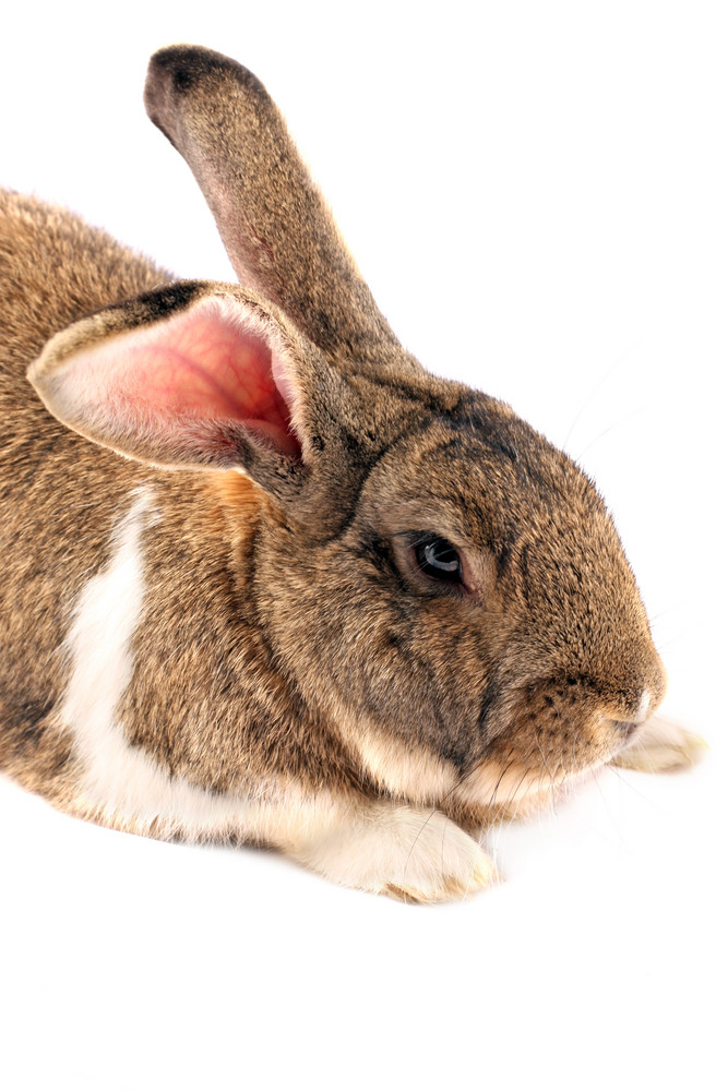 Isolated Rabbit