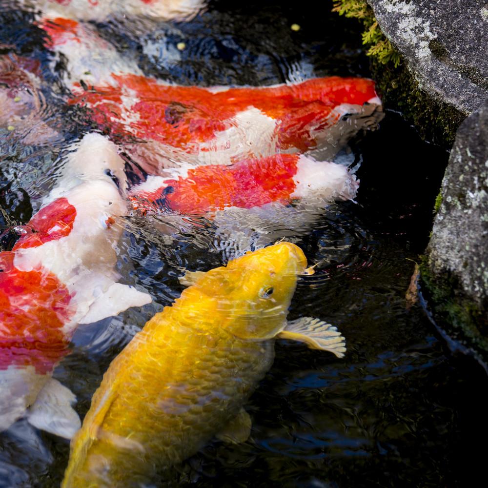 Japanese carps fish on water pool