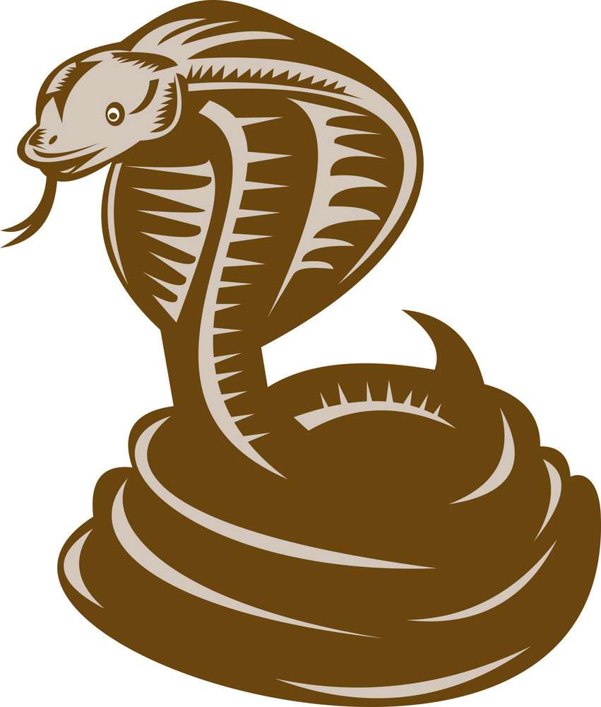 King Cobra Coiled About To Strike
