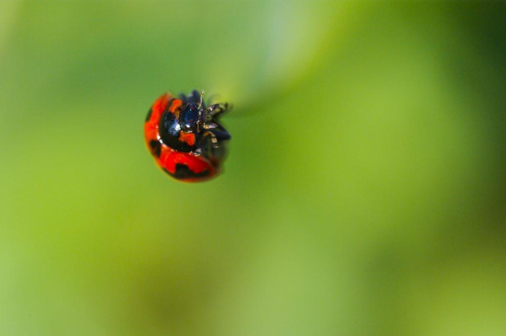 Ladybug (Ladybird) Crawling on Green Grass