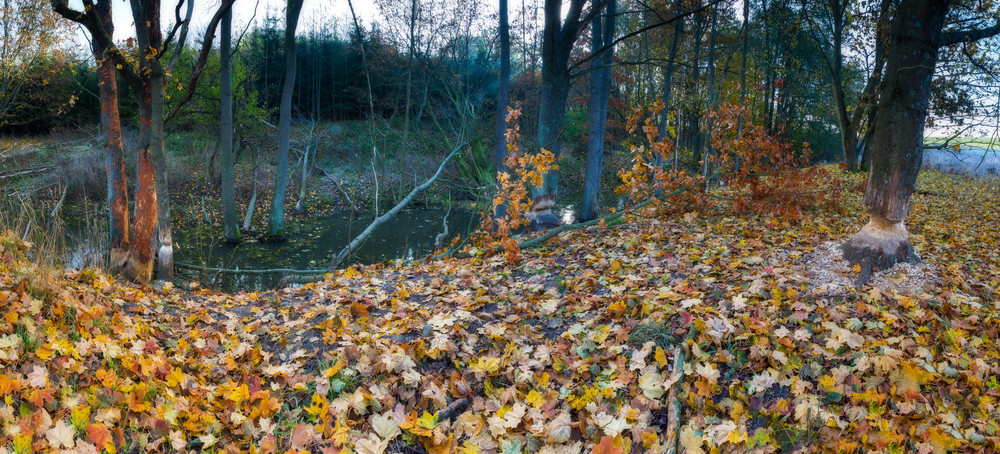 Landscape with trees gnawed by beavers. Place near beaver dam in autumnal forest. panoramic landscape