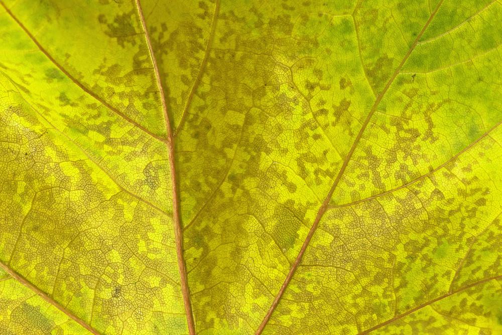 Leaf Texture 22