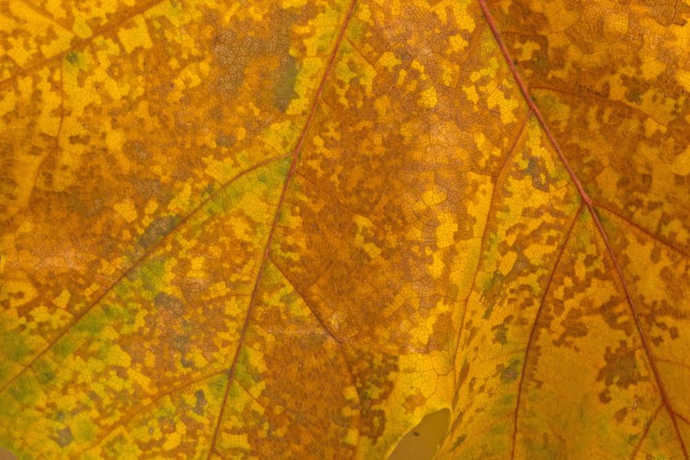 Leaf Texture 36