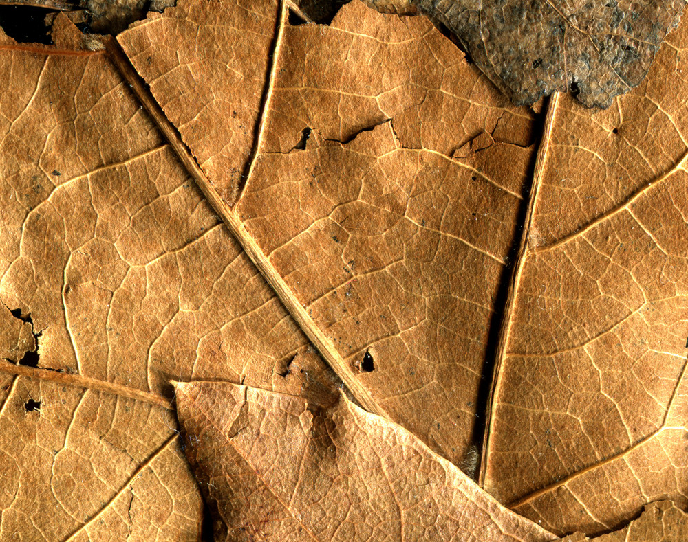 Leaves 17 Texture