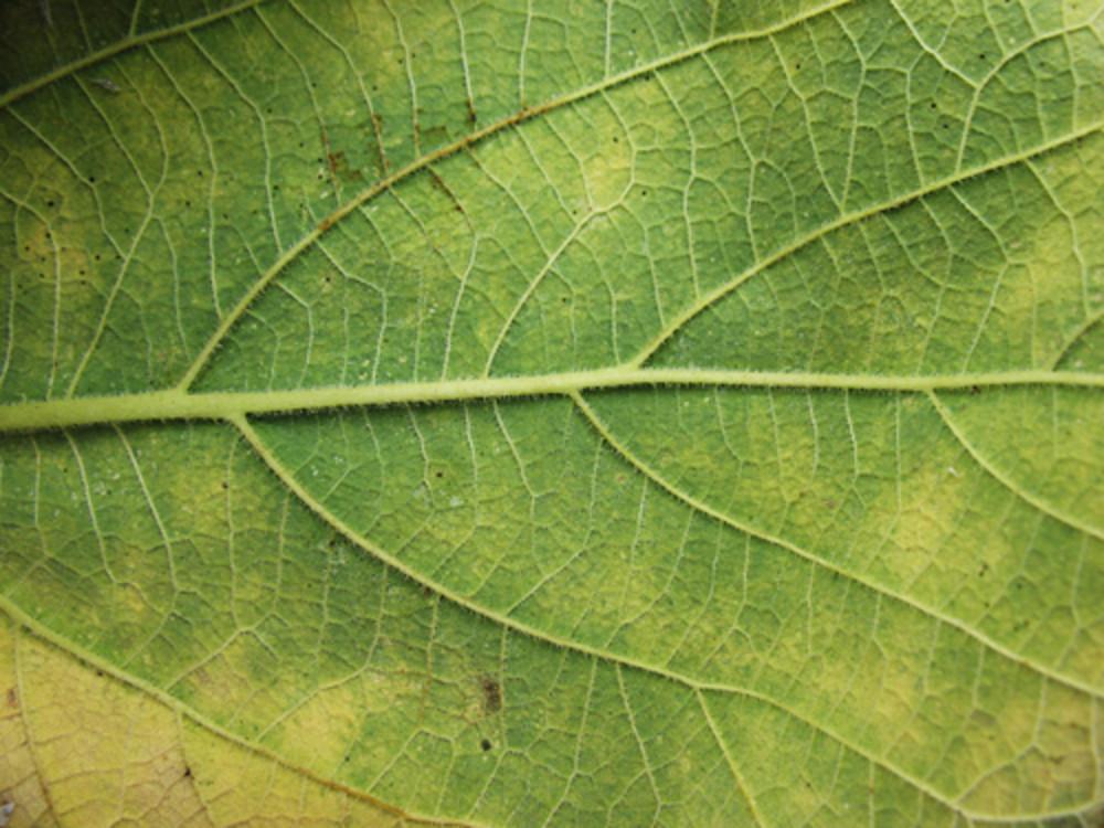 Leaves 51 Texture