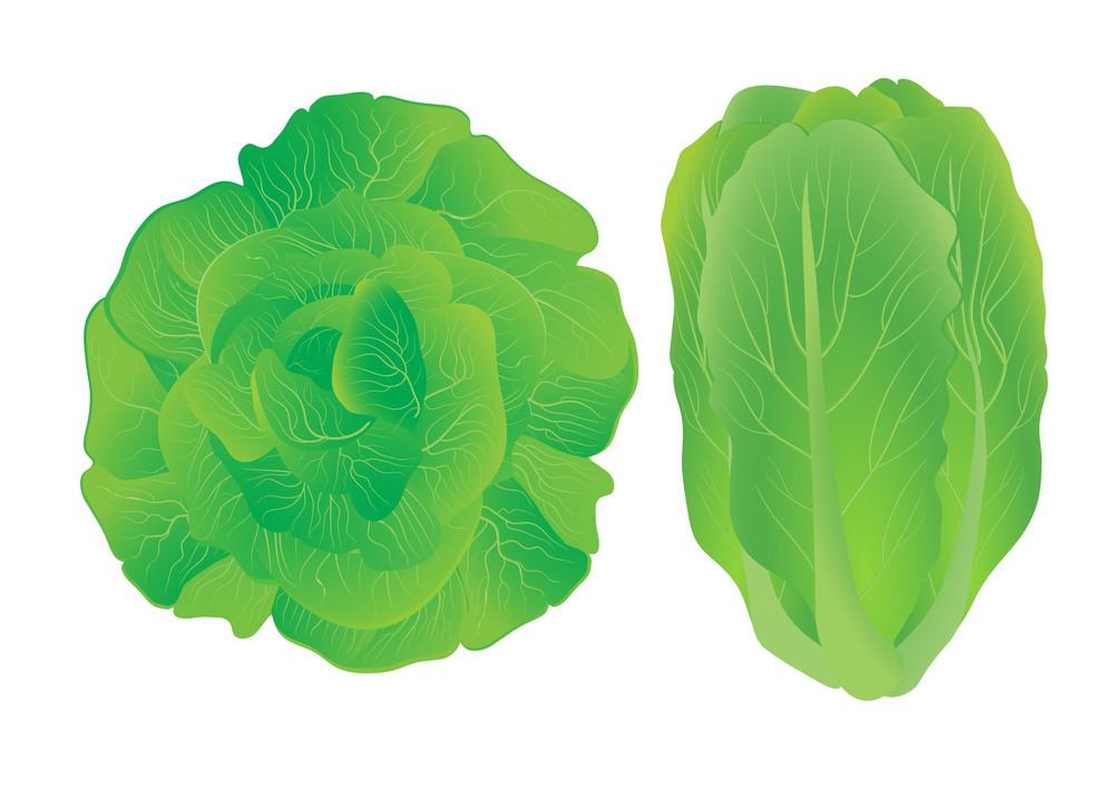 Lettuce. Vector Illustration.
