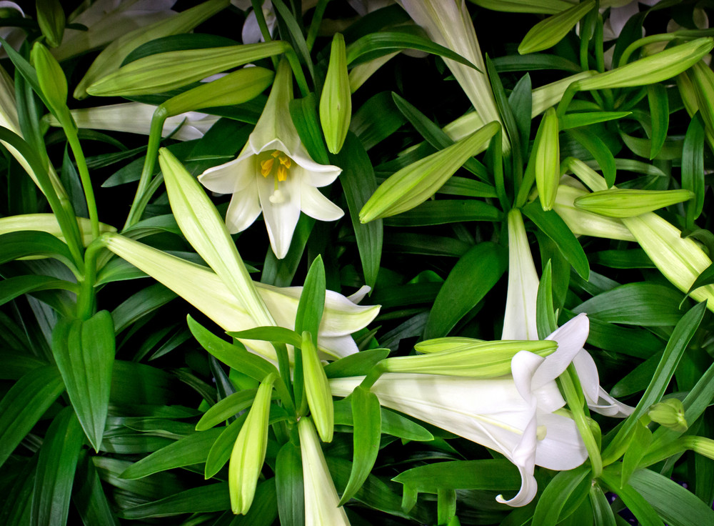 Lily Flowers Picture