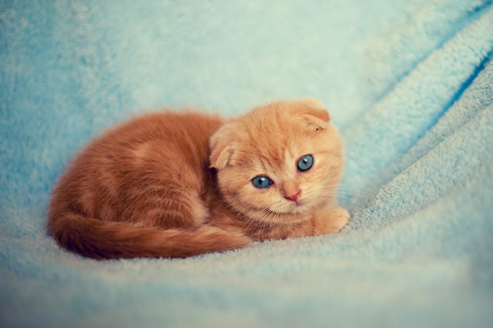 Little kitten lying on the blue blanket