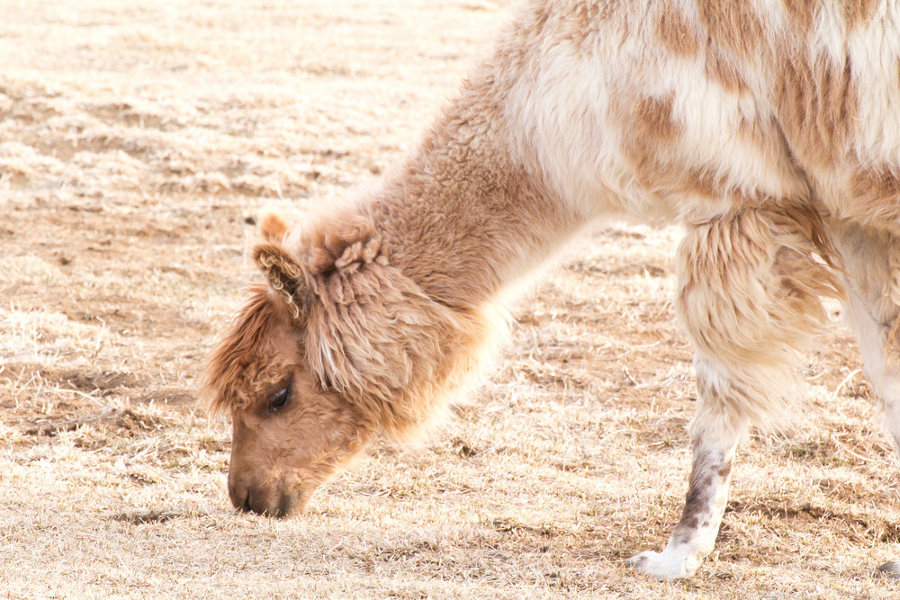 Llama Appaloosa Animal