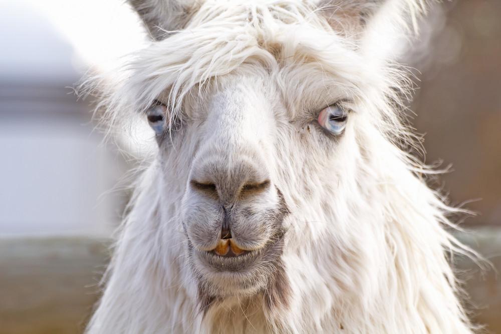 Llama Face