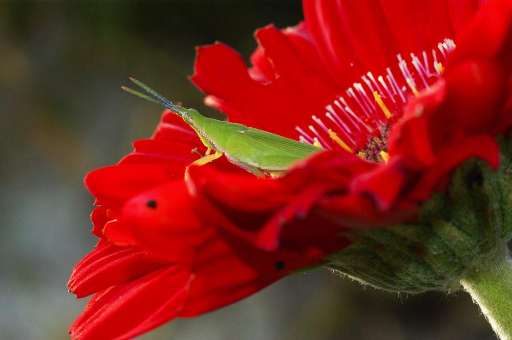 Long horned grasshopper or cricket on red flower