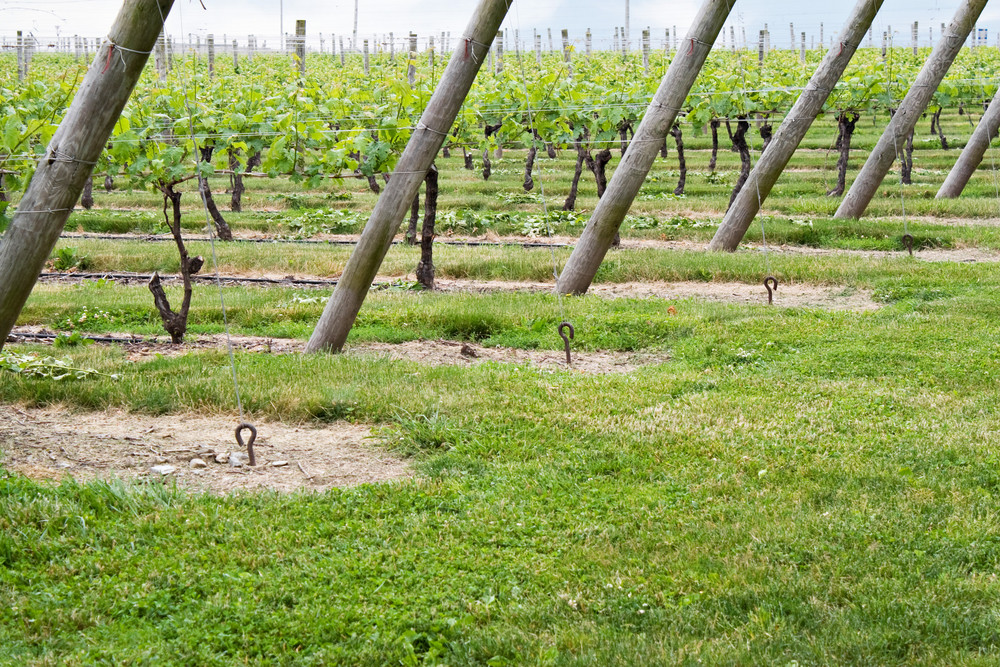 Long rows of grape vines planted in the fields of a wine vineyard.