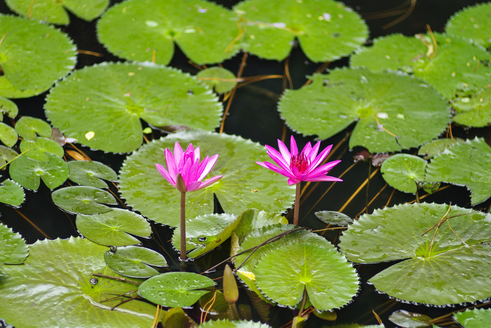 lotus flower blossom in the sunrise