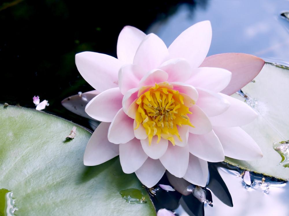 Lotus Flower