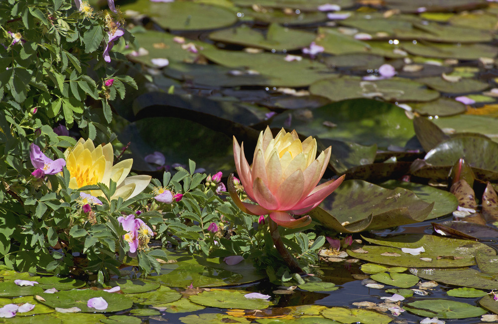 Lotus In Water Picture