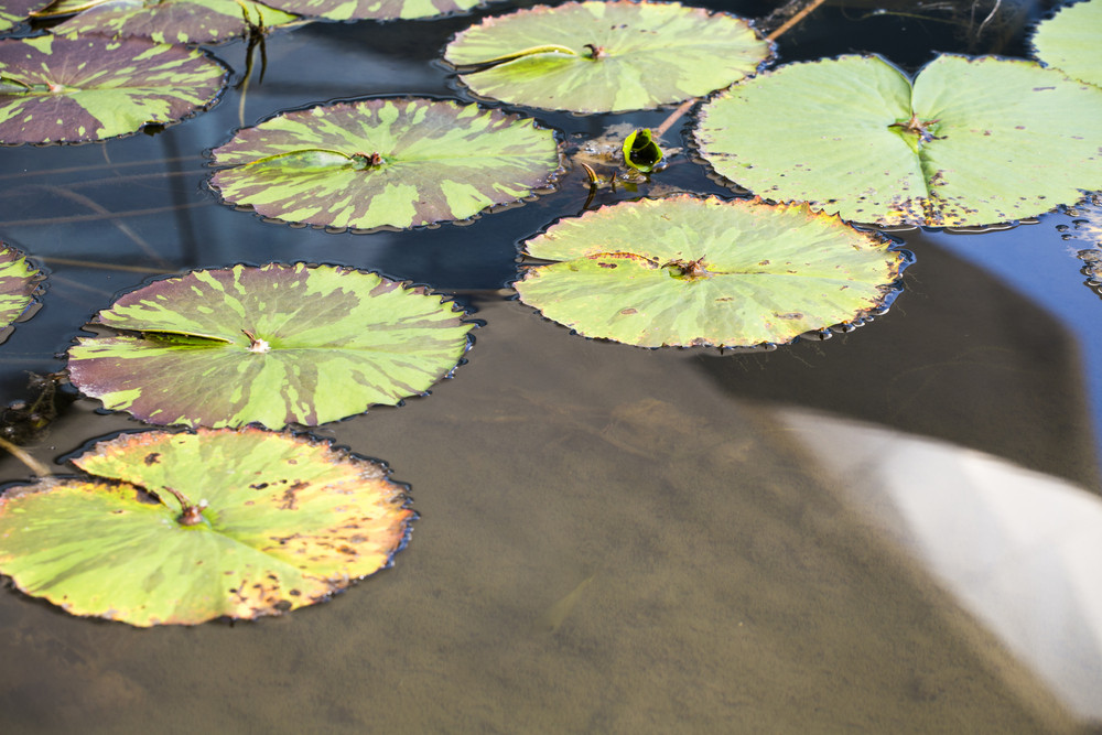 Lotus Leaf on pool water in hotel