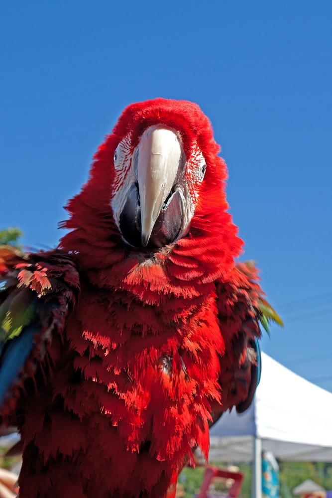 Macaw Ruffle