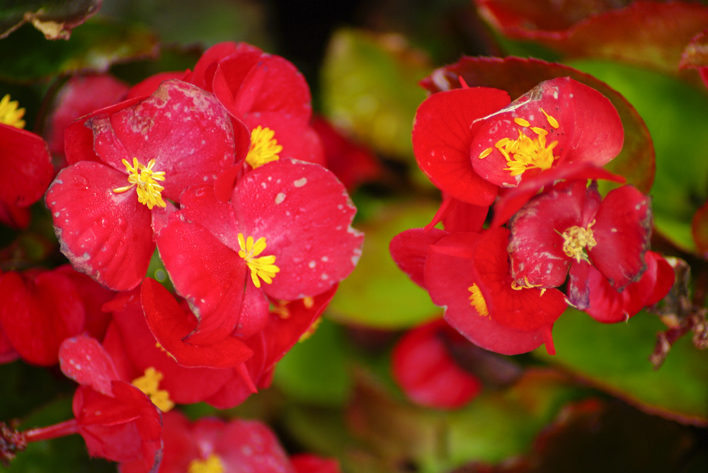 macro of little red flowers