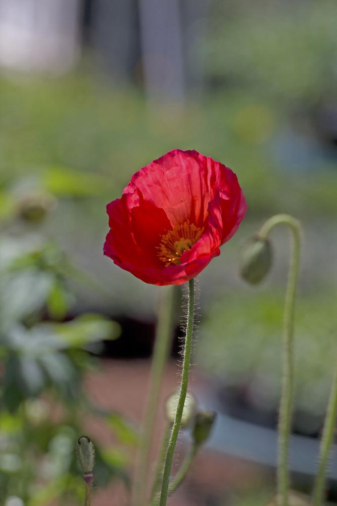 Macro Red Flower