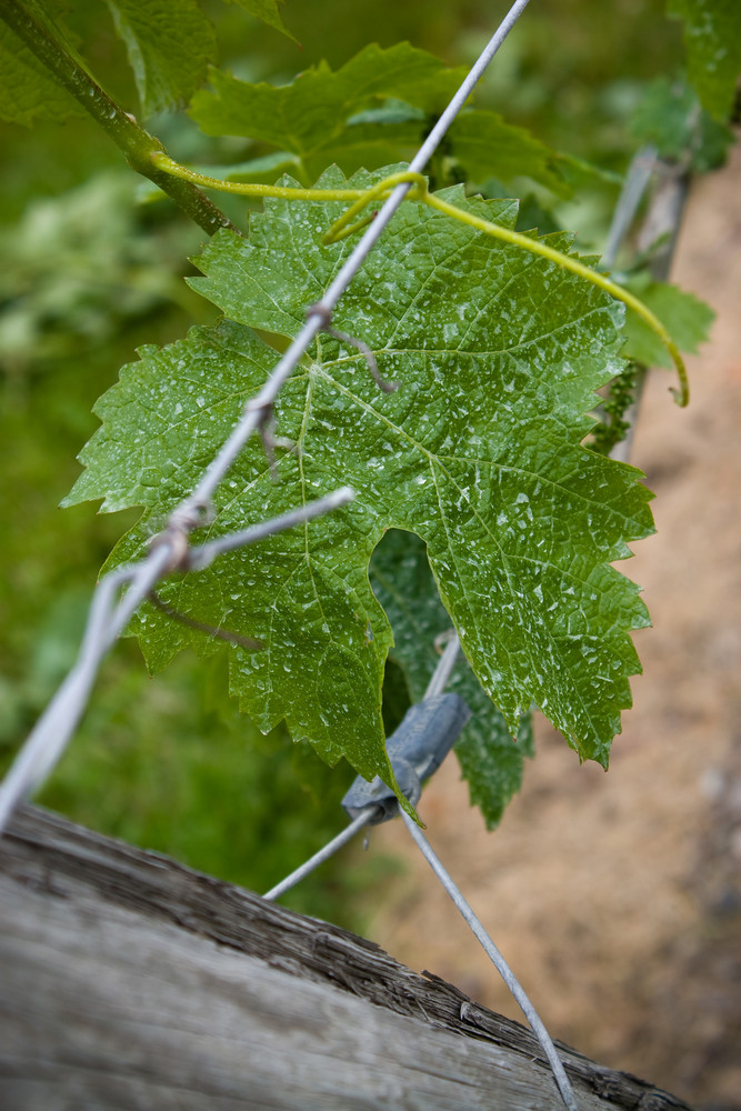 Macro shot of some grapes in their earliest stage of growth.  This occurs in the first weeks of summer.