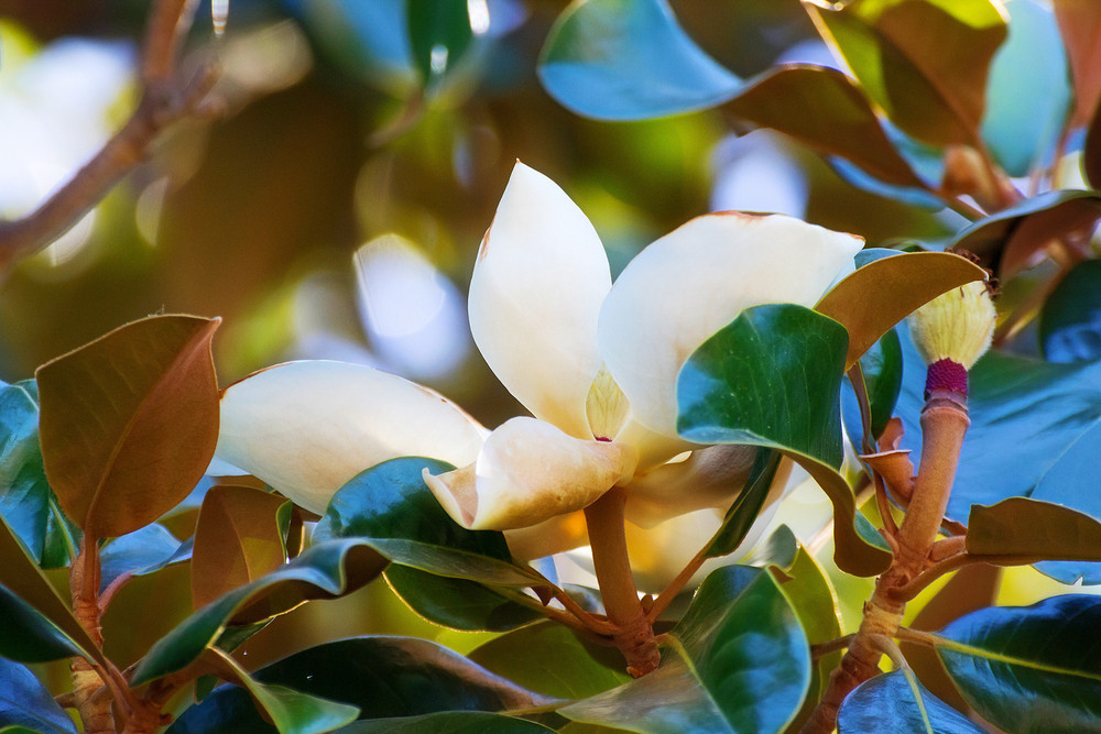Magnolia Flower Closeup