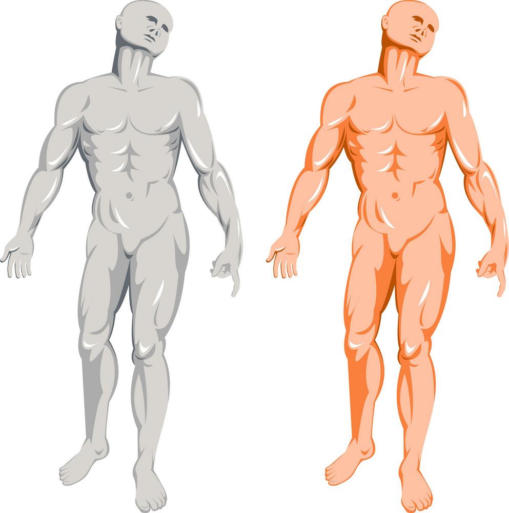 Male Human Anatomy Standing