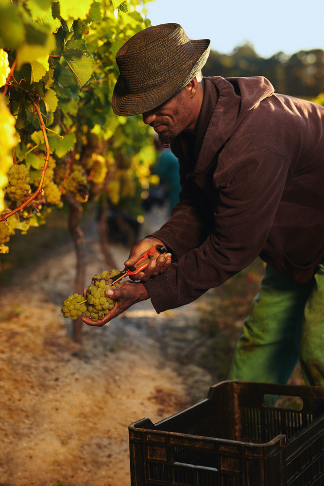 Man cutting green grapes from vine during harvest. Worker harvesting grapes in vineyard.