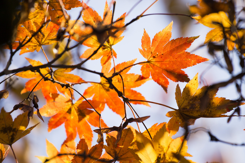 Maple leaf autumn close up background