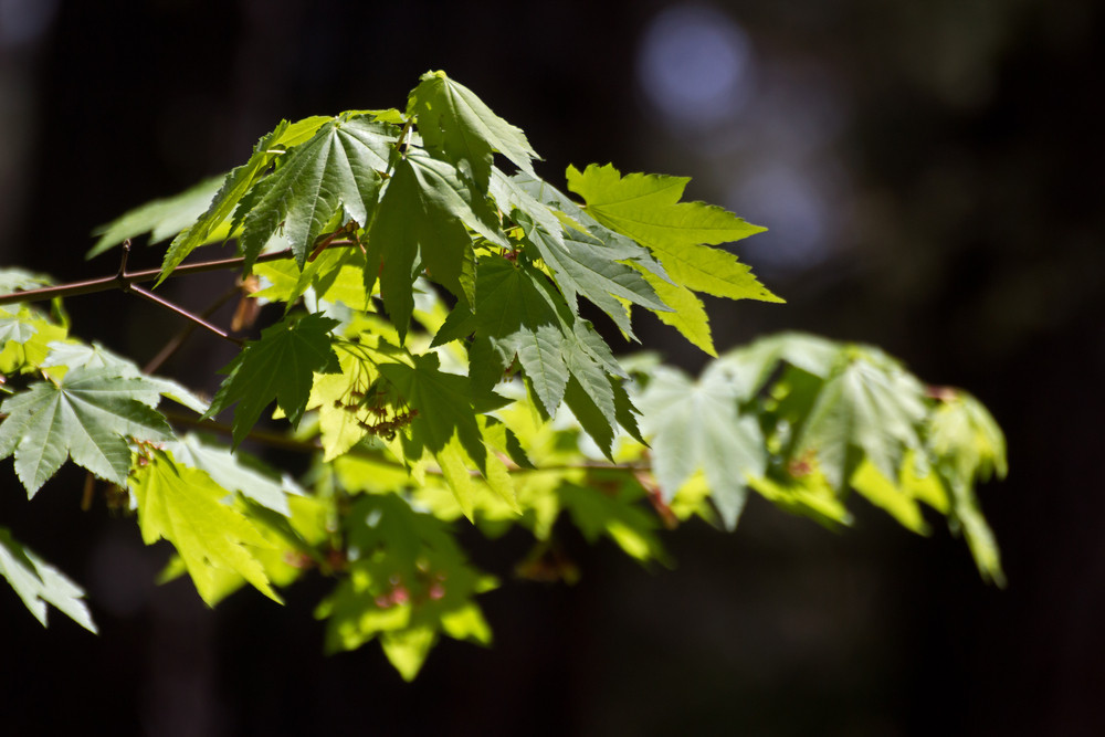 Maple Leaves Branch