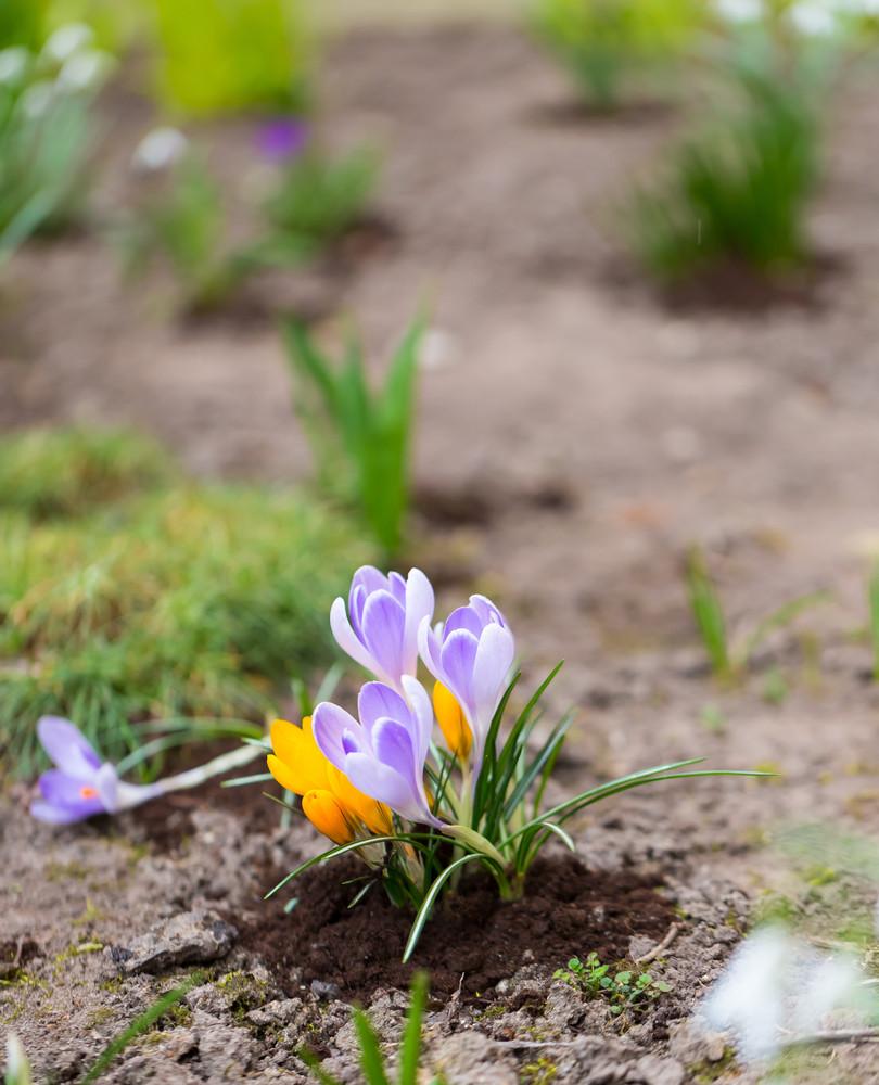Beautiful Violet Crocuses Flowers First Springtime Flowers Blooming