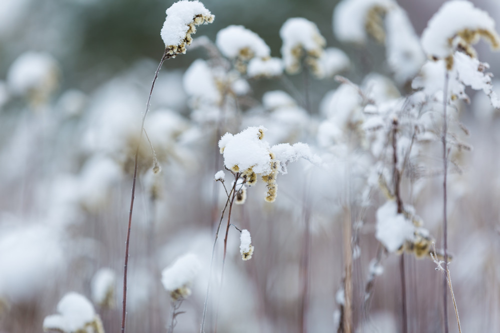 Plants under snow. Close up of withered goldenrod covered by snow in wintertime