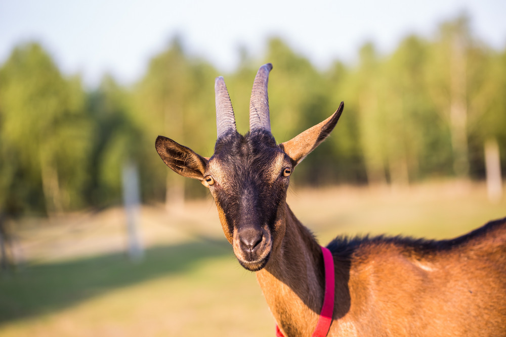 Brown goat portrait. Animal face
