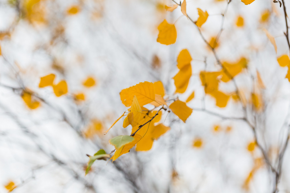 Beautiful autumnal birch tree branch with yellow leaves. Close up of autumnal tree.