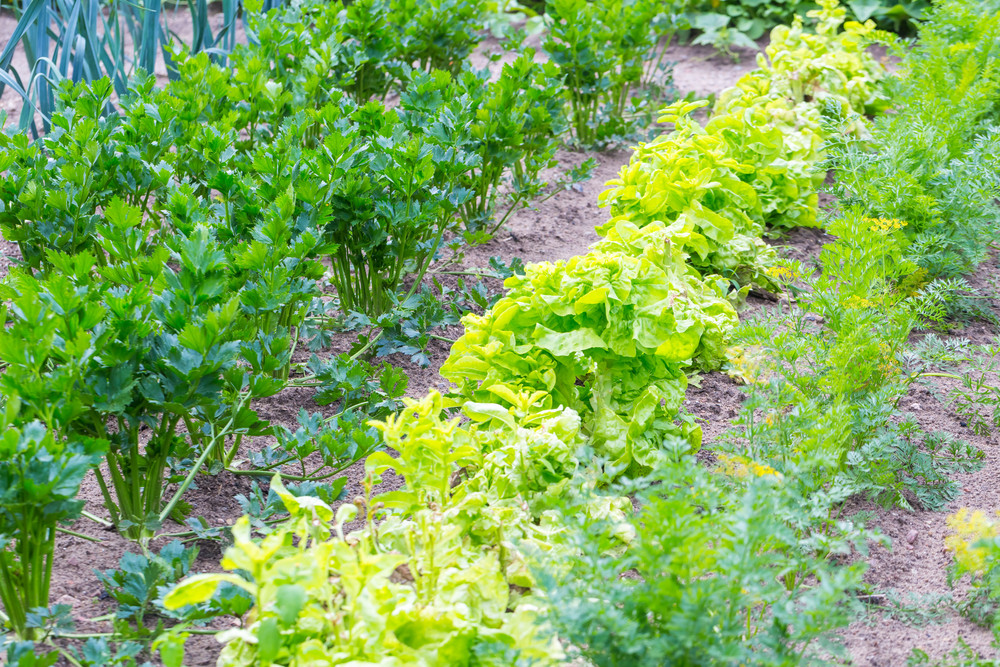 Beautiful ecologic organic garden with small vegetables sprouts. Springtime garden--
