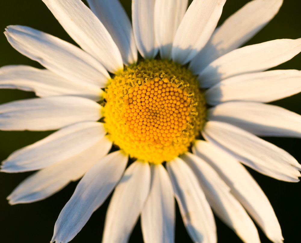 Beautiful chamomile flowers in nature photographed in summer at sunset.