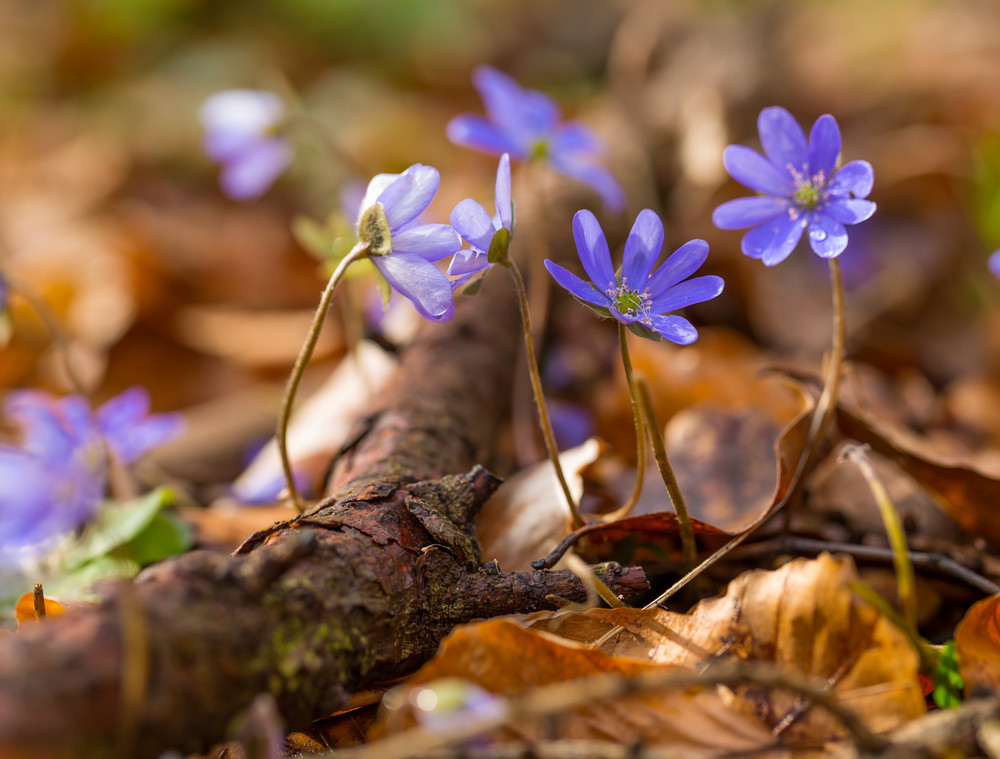 Beautiful Springtime Liverworts Hepatica Nobilis Flowers First